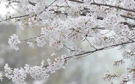 【旅拍】日本旅拍—去看美丽樱花
